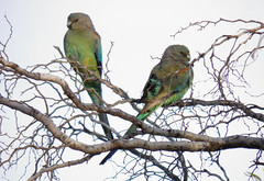 Mulga Parrots on the Point Lowly Peninsula (danimations) Tags: bird parrot parrots pointlowly mulgaparrots