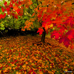 The Autumn Leaves (Al Perrette) Tags: trees red green fall colors gold maple leafs alperrette