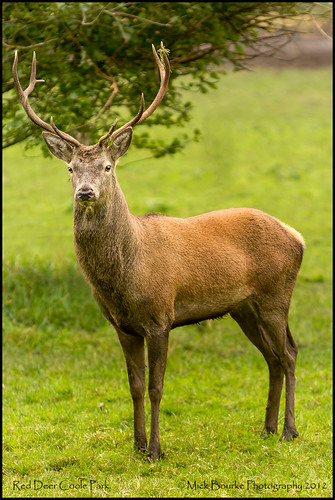 Red Deer at Coole Park Galway Ireland.