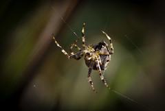 """""""Affix strand 'A' to strand 'C'... or was it 'B'?..."""" (TheKenski (contrastimages.co.uk)) Tags: garden spider web arachnid spiderweb silk arachnophobia eightlegs abdomen gardenspider 8legs spidersilk"""