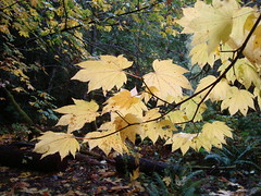 Glowing Vine Maple (amidfallenleaves) Tags: october diablolake northcascadesnp