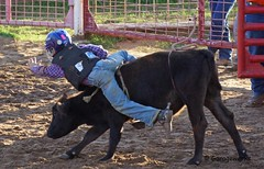 Junior Bull Riders Association (Garagewerks) Tags: school boy male oklahoma sports sport all child action sony bull highschool riding rodeo athlete 70300mm tamron bullriding roughstock muttonbusting f456 a65 youthrodeo slta65v juniorbullridersassociation