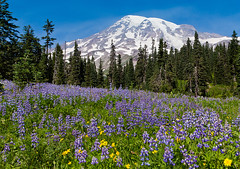 wildflowers (fuerst) Tags: travel usa mountain flower tree nature berg america forest landscape washington nationalpark unitedstates natur meadow wiese mountrainier amerika blume wildflower landschaft wald baum lupine reise wildblume