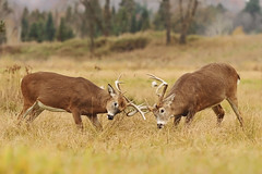 Whitetail Bucks Sparring (affinity579) Tags: autumn wild fall grass animal season nikon quebec wildlife ngc battle deer bucks sparring whitetail rut 70200mm montebello 2xteleconverter omegapark specanimal d700