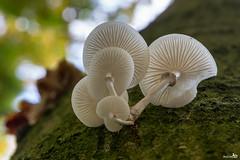 Porcelain Mushroom (Oudemansiella mucida) (BraCom (Bram)) Tags: autumn holland macro fall nature mushroom closeup forest canon woods herfst nederland thenetherlands natuur fungi explore paddenstoel bos soe gelderland ermelo porseleinzwam staverden oudemansiellamucida porcelainmushroom canonef24105mmf4lisusm bracom ruby10 ruby15 canoneos5dmkiii ruby20 bramvanbroekhoven