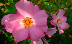 Autumn Sunbeam (love_child_kyoto) Tags: autumn flower macro rose kyoto arashiyama   rosegarden   lavieenrose  masterphotos artisticflowers  mindigtopponalwaysontop  leicadlux5 dlux5