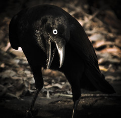 all that has a deathly smack he prefers (Fat Burns) Tags: bird halloween samhain crow australianwildlife australianbird allhallowseve torresiancrow