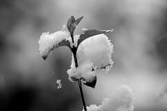 First snow of 2012 (begumidast) Tags: schnee winter blackandwhite snow nature canon eos schweiz switzerland frozen frost suisse bokeh outdoor natur 7d svizzera soe ef70300 eflens eos7d canoneos7d canonwinter begumidast doubleniceshot mygearandme canonef70300mmf456lisusm musictomyeyeslevel1