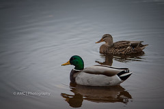 Mallard Ducks ({Andrea}) Tags: lake water duck mallard indigenous odc canoneos50d