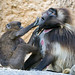 Young and old baboons playing