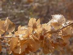 Atriplex canescens (Matt Lavin) Tags: fruit utah native canyonlandsnationalpark needles chenopodiaceae amaranthaceae fourwingsaltbush atriplexcanescens shruub