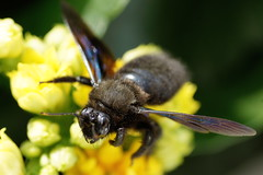 L'ABEILLE CHARPENTIRE ou XYLOCOPE (rj@ubertsb) Tags: insecte labeille xylocope charpentire rjubertsb