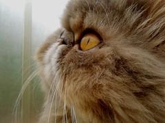 Tem como não ser a Felícia com um desse em casa?! @ Kolber (* Tati) Tags: pet pets cute animal fauna cat persian kitten feline kitty gato felino persa blueshow kolber catcrazylady