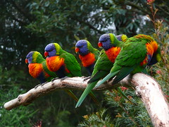 Rainbow Lorikeets (teressa92) Tags: trees colors birds branch feathers lorikeets grevillea thegalaxy mulitcolore naturethroughthelens pettuche