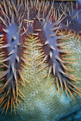 Crown of Thorns (clear_eyed_man) Tags: travel scuba cookislands crownofthorns