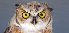 Eyes (Ste.Baz) Tags: canada bird goofy yellow eyes funny serious wildlife beak alberta owl owls lethbridge birdofprey canon18200mm canont1i lethbridgebirdsofpreycentre