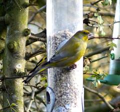 Greenfinch (Rovers number 9) Tags: winter england cold tree birds minolta bokeh wildlife sony january lancashire a65 2013 biggardenbirdwatch euxton minoltaaf100200f45 greenfich bkhq sonya65 jan2013