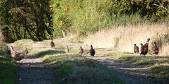 Pheasants and Partridges ( Claire ) Tags: sunshine french suffolk pheasant partridge gamebird northcove redlegged redleggedpartridge frenchpartridge gamebirds
