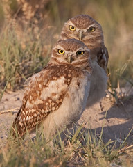 Burrowing Owls - Image #7600 (Larry McFerrin) Tags: nature birds photography owl owls athenecunicularia burrowingowl larrymcferrin