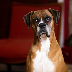 Boxer Modeling (fj40troutbum) Tags: portrait dog pet canon boxerdog molly boxer 85mm18 strobist gregholland