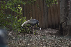 Gru della Manciuria (querin.rene) Tags: renquerin qdesign parcolecornelle parcofaunistico lecornelle animali animals gru grudellamanciuria