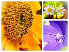 klein aber Oho II (nirak68) Tags: 211366 blüte blossom sonnenblume sunflower bank sommer balkon 2016ckarinslinsede ballonblume mutterkraut lübeck schleswigholsteinkreisfreie deutschland schleswigholsteinkreisfreiehansestadtlübeck ger