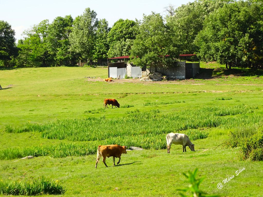 Águas Frias (Chaves) - ... vacas no lameiro ...