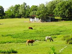 guas Frias (Chaves) - ... vacas no lameiro ... (Mrio Silva) Tags: guasfrias aldeia chaves trsosmontes portugal madeinportugal mriosilva ilustrarportugal 2016 agosto vero animais vacas prado lameiro lumbudus