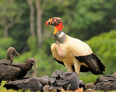GF_2016_02_15_2183_500 (aquahiker) Tags: kingvulture sacoramphuspapa bocatapada alajuelaprovince costarica wildlife bird newworldvulture vulture