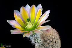 Echinocereus dasiacanthus SB 405 (clement_peiffer) Tags: echinocereus dasyacanthus sb405 d7100 105mm nikon cactus fleurs flower flowerscolors