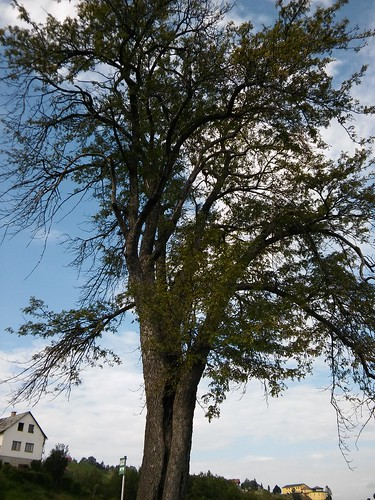 Sorbus domestica 20160818_164230