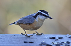 Red-breasted Nuthatch (glenbodie) Tags: glen bodie glenbodie reifel 201608 redbreasted nuthatch dncb