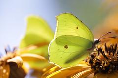Brimstone, Citroenvlinder 02 (cees van gastel) Tags: ceesvangastel macro natuur nature butterfly vlinders tussenringen extensionrings canoneos550d tamron70300mm brimstone citroenvlinder tuinvanbouvigne bouvignebreda