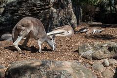 Kangaroo! At the Taronga Zoo in Sydney (Mister Bunny) Tags: australia sydney tarongazoo zoo mosman newsouthwales au kangaroo