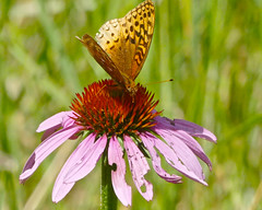 Great Spangled Fritillary (jaybirding) Tags: animal insect leicavlux114 maine me nature outdoor rossmore stormer brunswick us butterfly