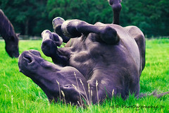 Illico (PhotOw'graphie) Tags: horse cheval vert nature pature wild libert herbe quin couch roulage roulade drole envers noir mrens