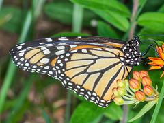 Monarch #4 (ScreaminScott) Tags: butterfly monarch butterflyweed