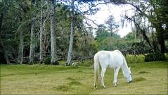 Cavalo Branco (Mazé Parchen) Tags: pasto pastagem pastando comendo cavalo cavalobranco cavalinho branco alvo potreiro rural campeiro lapa paraná mazé mazéparchen foto fotografia imagem registro bonito belo