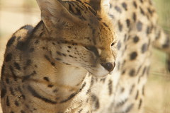 064_Great Cats Park_Serval (steveAK) Tags: greatcatsworldpark serval