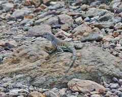 Cophosaurus texanus, Greater Earless Lizard (tripp.davenport) Tags: cophosaurustexanus greaterearlesslizard reptile lizard bigbend bigbendnationalpark brewstercounty tx