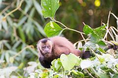 Capucin brun .. Brown Capuchin  in Manu Peru (geolis06) Tags: geolis06 prou peru per amriquedusud southamerica manu amazonie amazonia rainforest jungle fort forest madrededios biospherereserve parcnationaldeman mannationalpark 2016 patrimoinemondial unesco unescoworldheritage unescosite pantiacollatour nikon nikond7200 sigma sigma150600mmf563dgoshsmcontemporary primate monkey singe capucinbrun sapajus apellablackcapped capuchinbrown capuchintuftenatureprimatesgeolis06 singessapajus capuchintufted capuchin