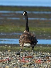 Canada Goose (Sandy Paiement) Tags: canadagoose brantacanadensis