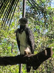"""Le Parc des Oiseaux d'Iguaçu: un aigle royal femelle. Elle ressemble en fait à une grande chouette. <a style=""""margin-left:10px; font-size:0.8em;"""" href=""""http://www.flickr.com/photos/127723101@N04/29607768206/"""" target=""""_blank"""">@flickr</a>"""