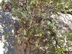 Manzanita Tree growing through the sandstone Photo