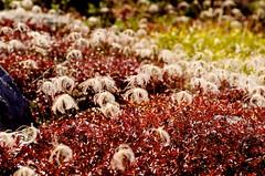 Fruit of avens (tez-guitar) Tags: road autumn red mountain flower green art japan walking pentax petal highland tateyama pentaxart