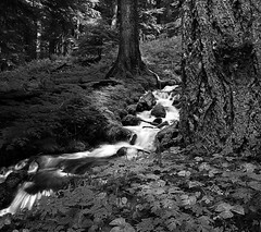 Sometimes my instincts lead me to black and white...... (McCoy352) Tags: bw fern nature monochrome creek hiking olympicnationalpark oldgrowth goodcompany blackandwhiteconversion springfed deepshadows vanillaleaf ~sigh~ lovethisphotographinthisformat