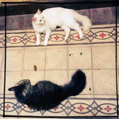 HipstaPrint (deadoll) Tags: cats cute love cat fur furry kat feline chat amor adorable kitty kittens noflash sleepy gata felinos felino felines neko katze fofo gatto babys gatti pur sleepingcats gatas hipstamatic foxylens rtvfilm