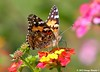 Painted Lady / Lantana, Bayou Courtableau, Louisiana (Image Hunter 1) Tags: pink red orange plant flower green nature leaves yellow butterfly leaf wings stem louisiana branch blossom bokeh branches bayou swamp bloom marsh bud canoneos7d bayoucourtableau hennysanimals