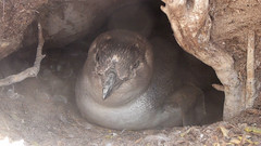 Little Penguins roost in burrows on Lipson Island (danimations) Tags: penguin penguins burrow littlebluepenguin fairypenguin littlepenguin penguinchick penguinburrow lipsonisland