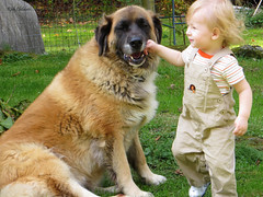 A Dog's Life (rcvernors) Tags: dog pet furry toddler child action canine pepsi tobias bigdog adogslife gentlegiant largedog 17monthsold rcvernors shepbernard rickchilders tobychilders